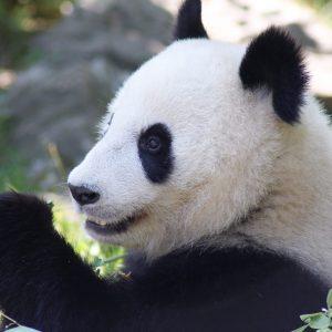 Panda Shönbrunn Zoo