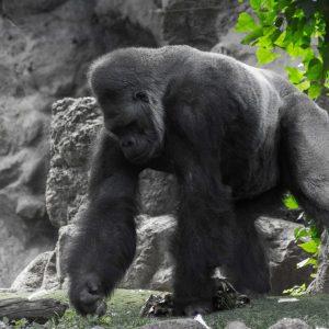 Gorilla v Loro Parque