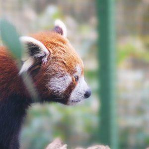 Panda červená ZOO Plzeň