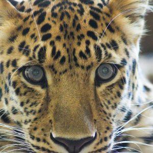 Gepard Shönbrunn Zoo