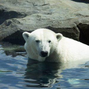 Lední mědvěd Shönbrunn Zoo