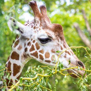 žirafa Shönbrunn Zoo
