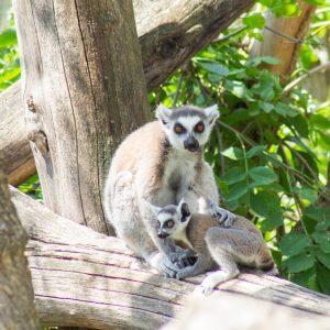 Lemuři Shönbrunn Zoo