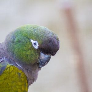 Papoušek Shönbrunn Zoo