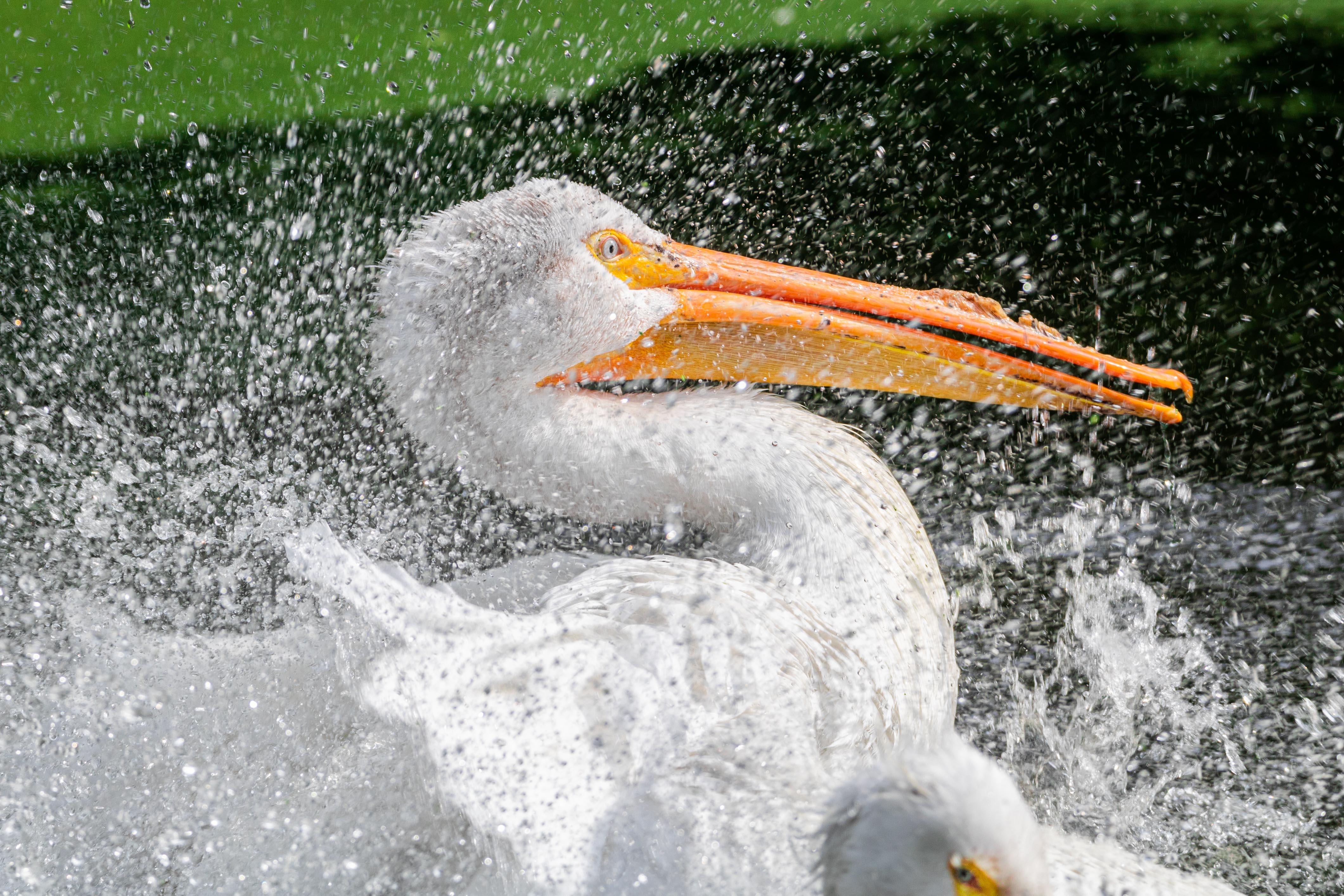 Fantastick pelican